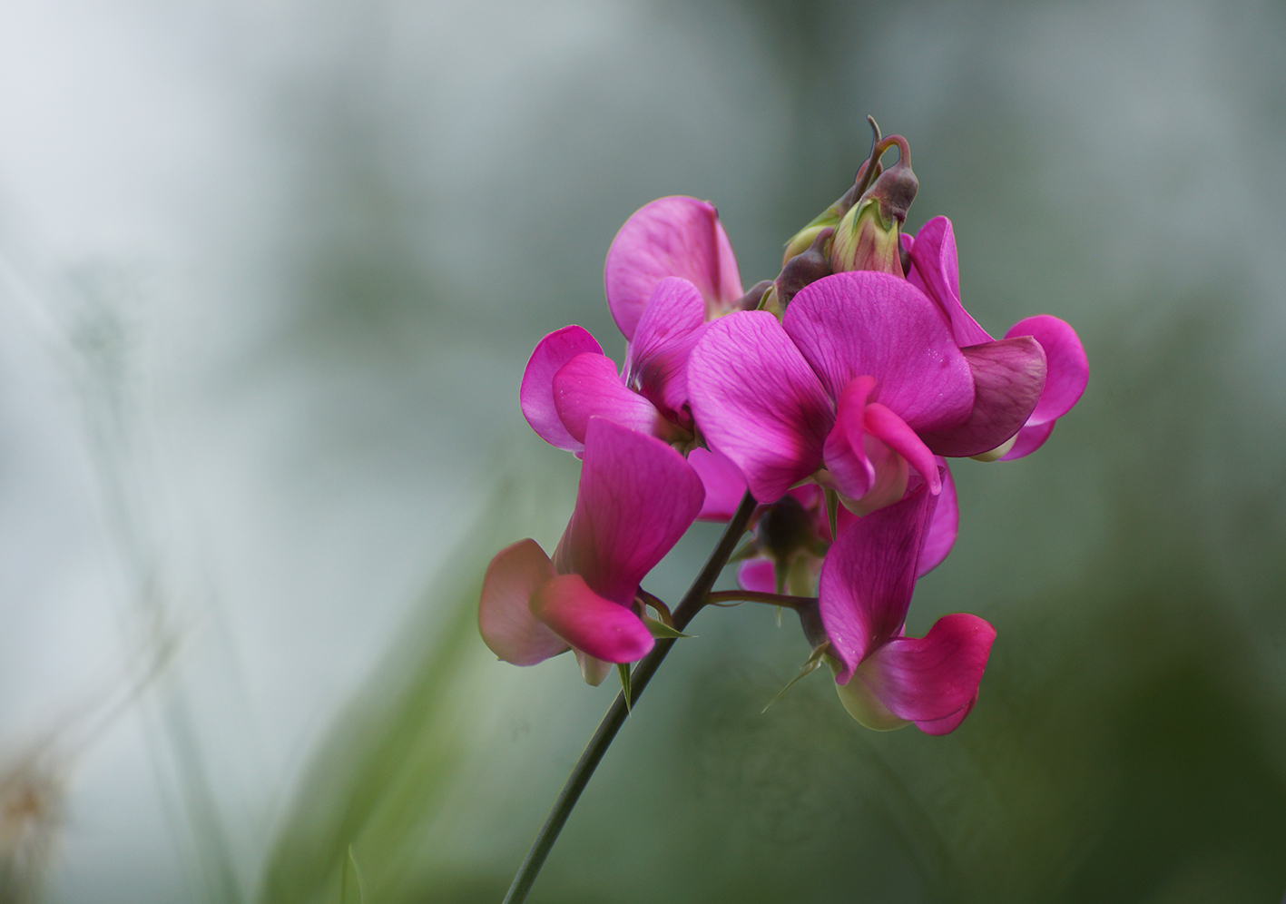 sweet pea flower photo