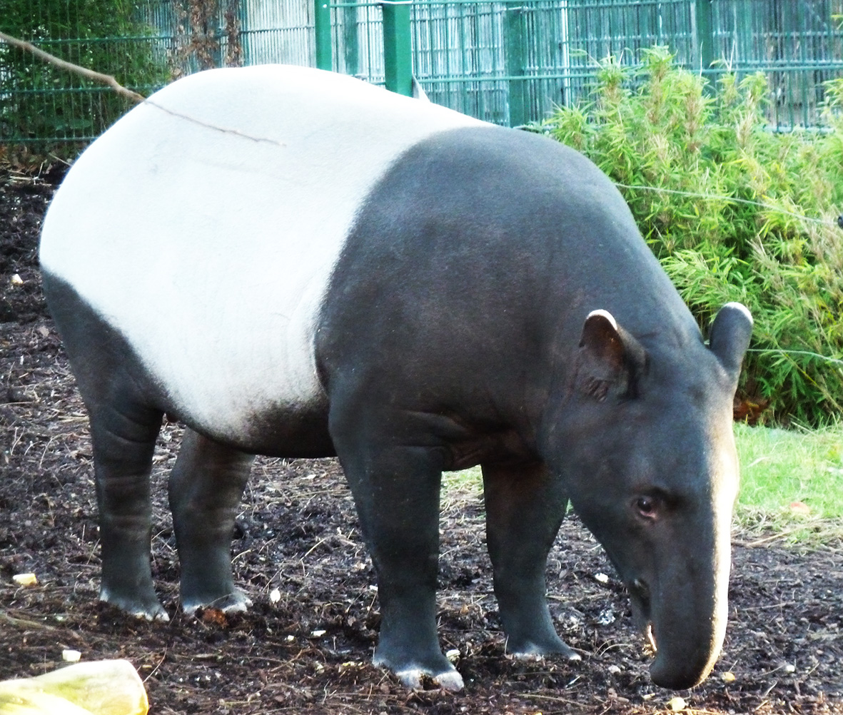 Tapir facts and pictures female tapir