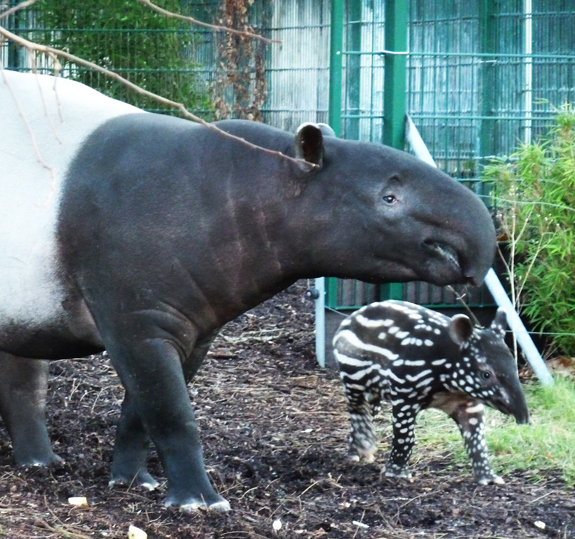 tapir female and young