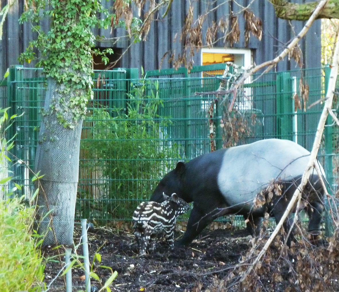 Mother and young tapir in zoo