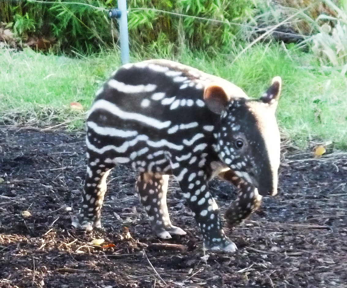 Young tapir on adventures