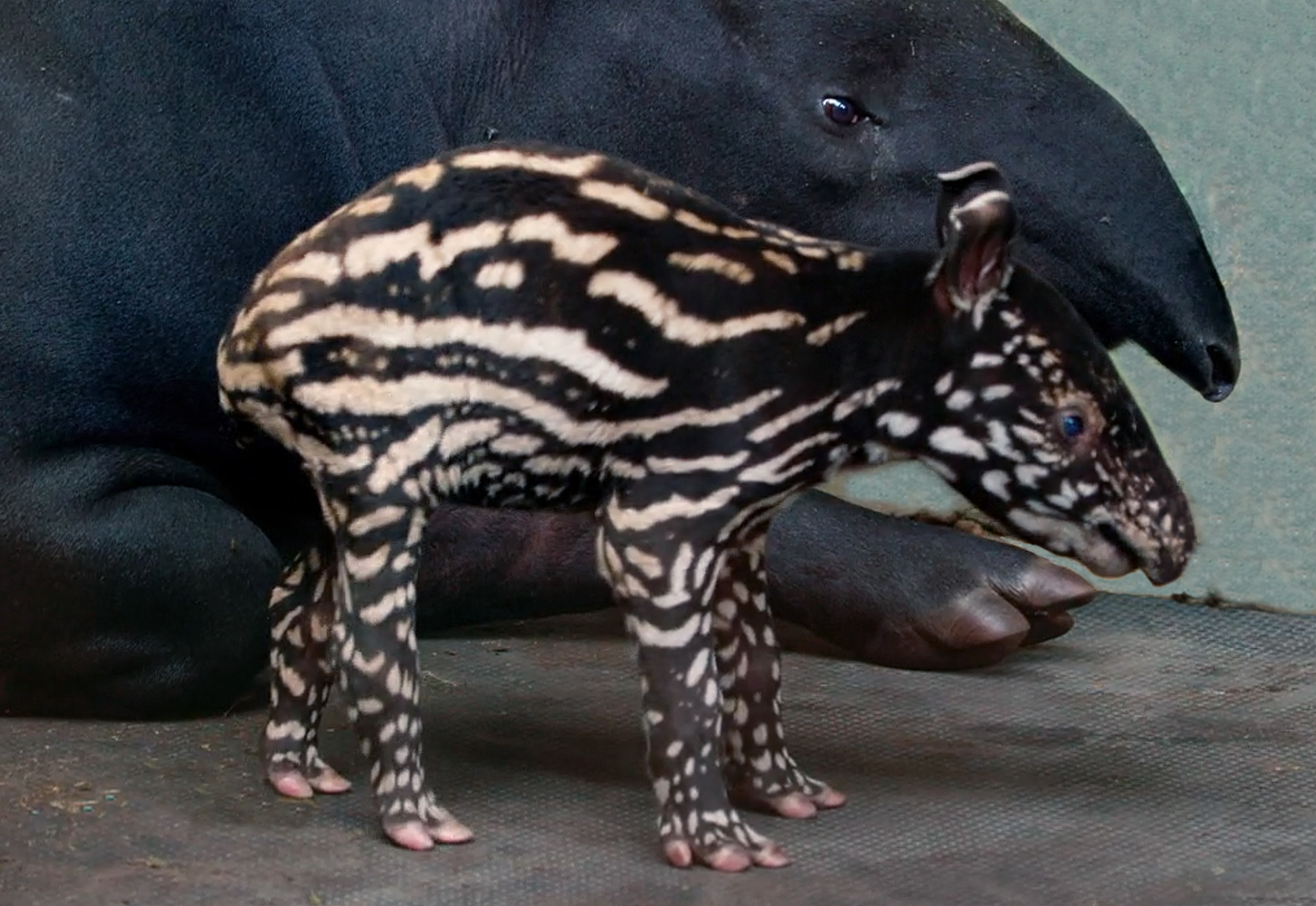 young tapir and it's mother