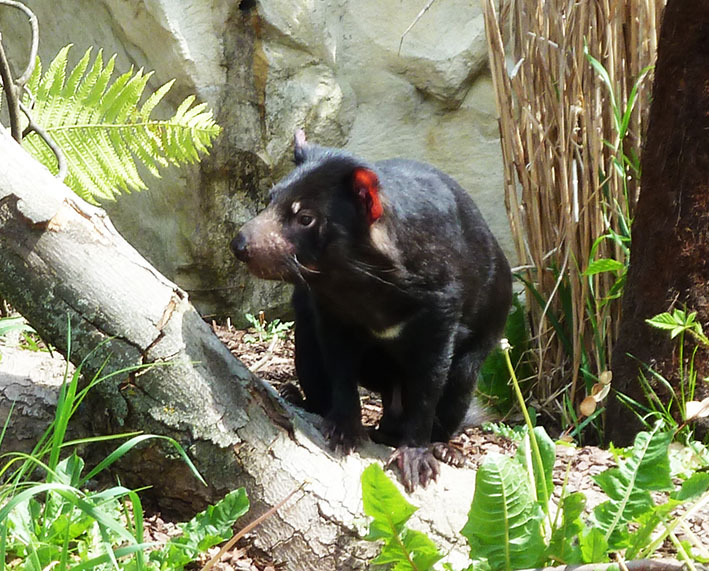 Tasmanian devil in zoo