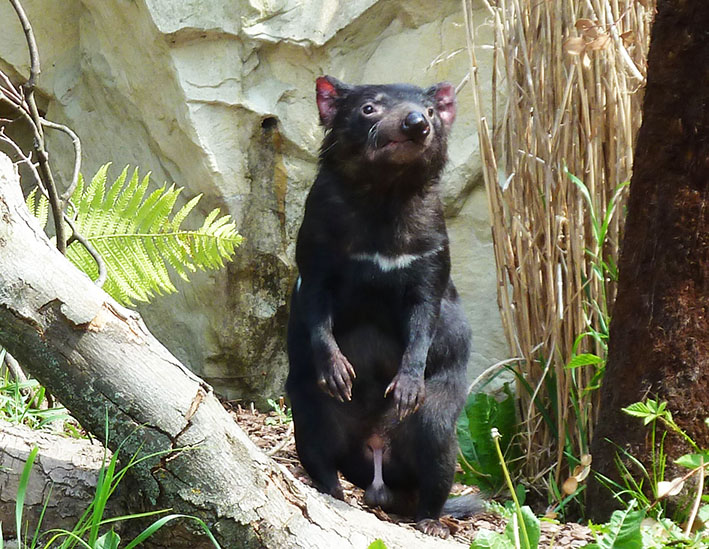 zoo animals Tasmanian devil male