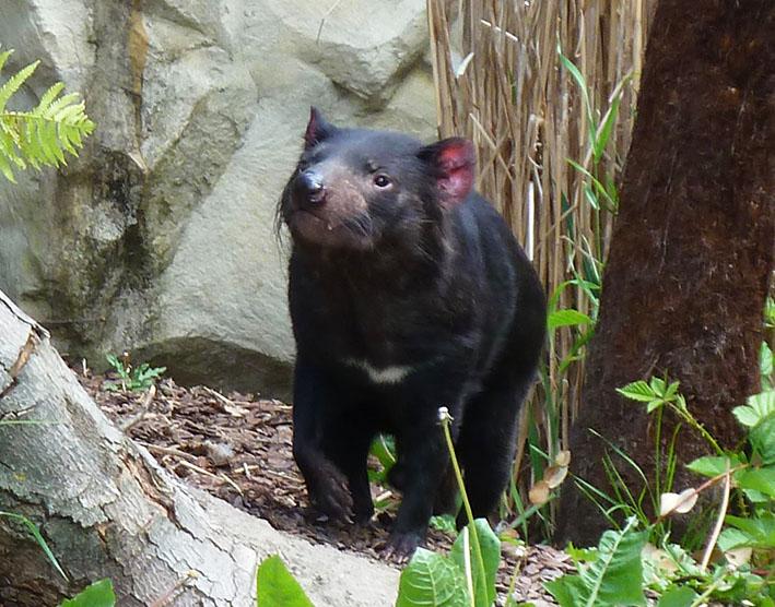 Tasmanisher teufel in zoo