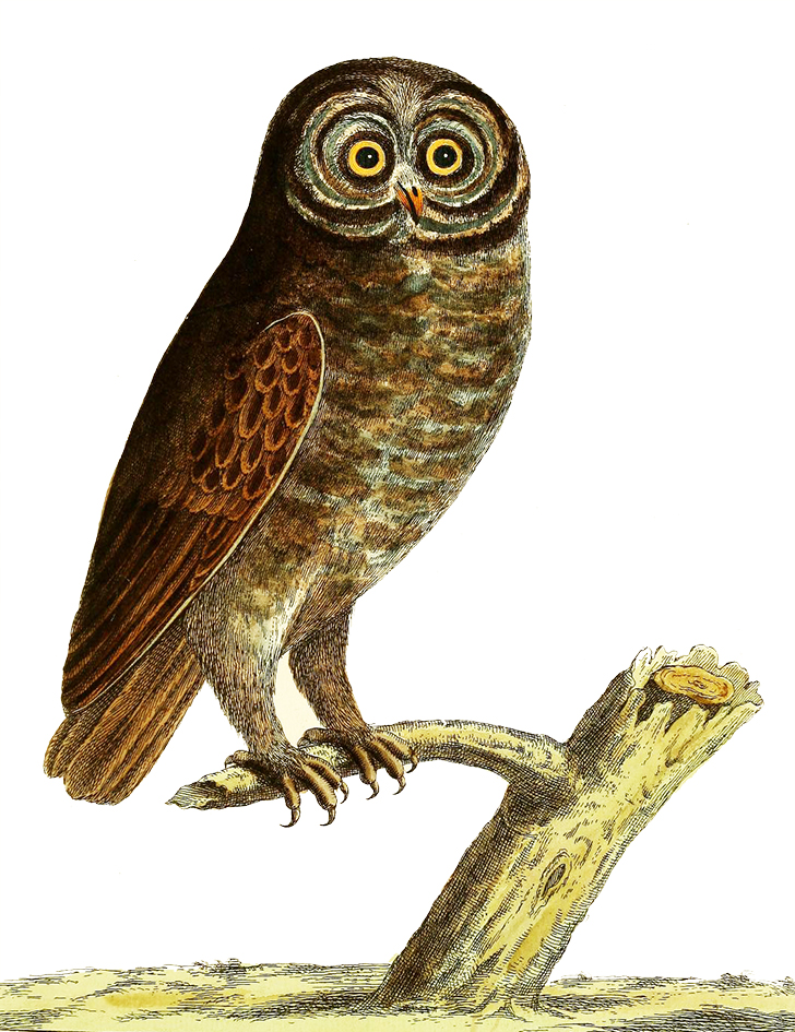 drawing of the black owl