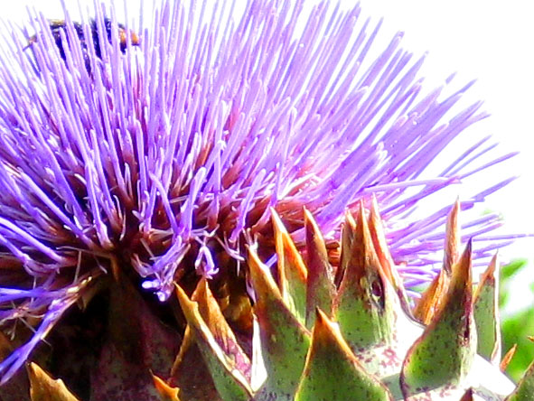 Thistle flower and bee