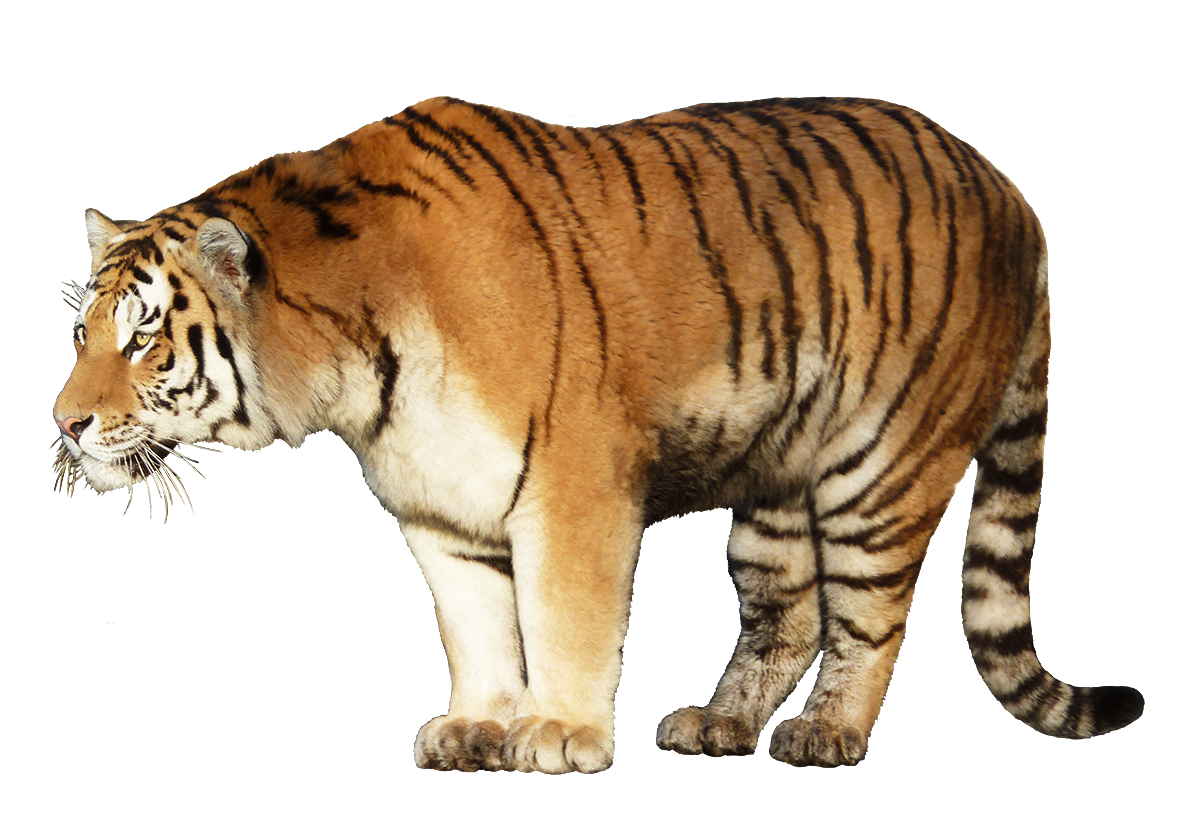 tiger clipart cut-out