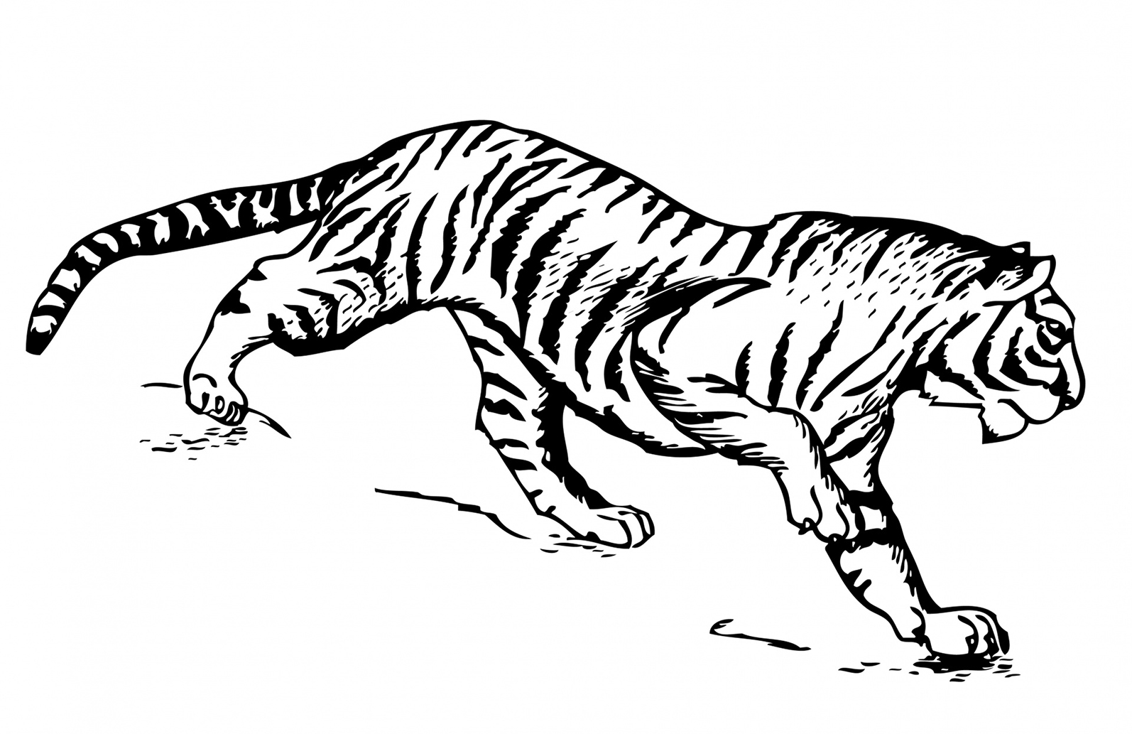 tiger illustration for coloring