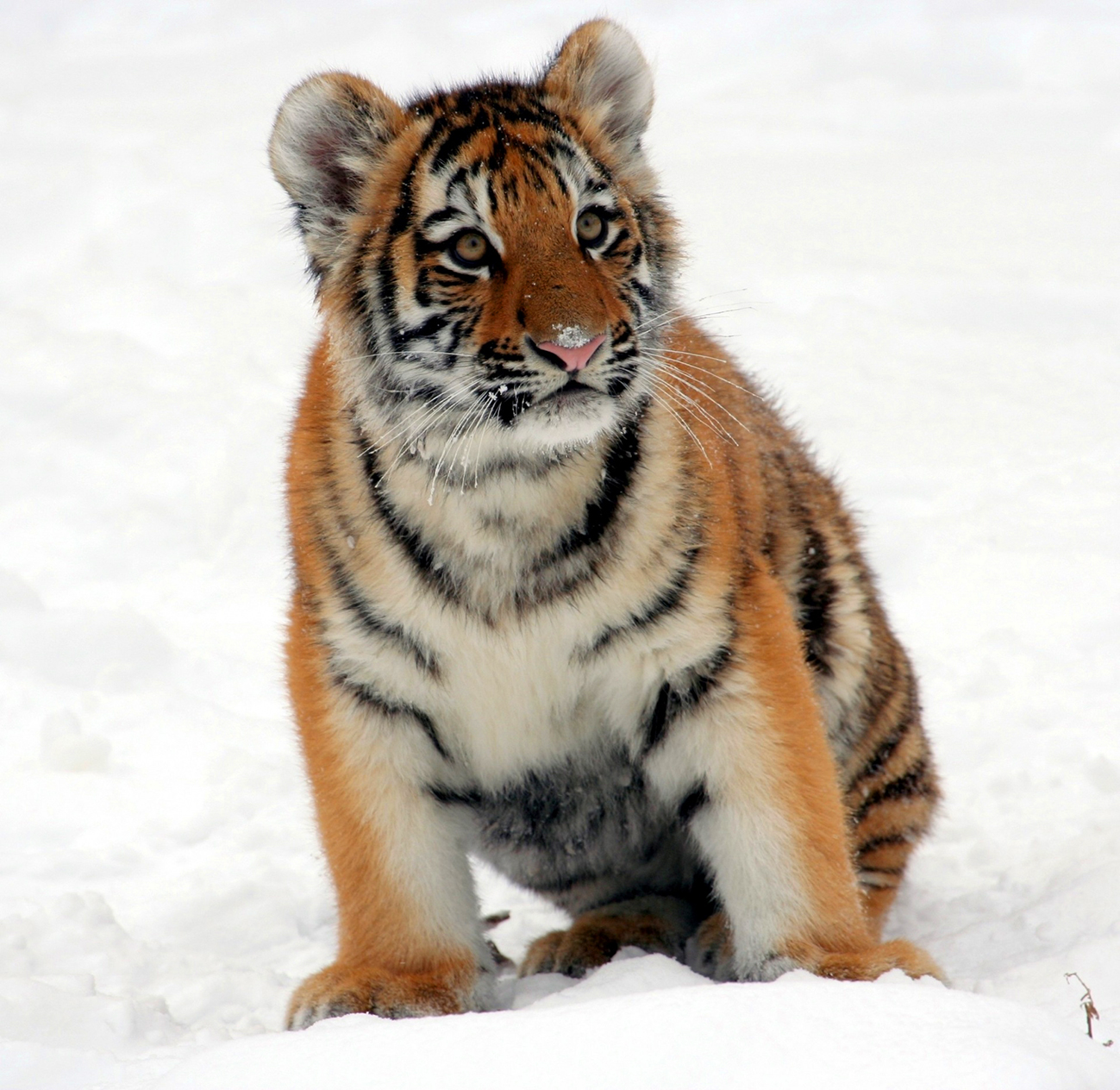 tiger cub in the snow