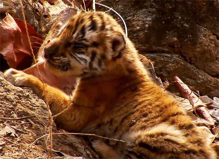 tiger cub hissing