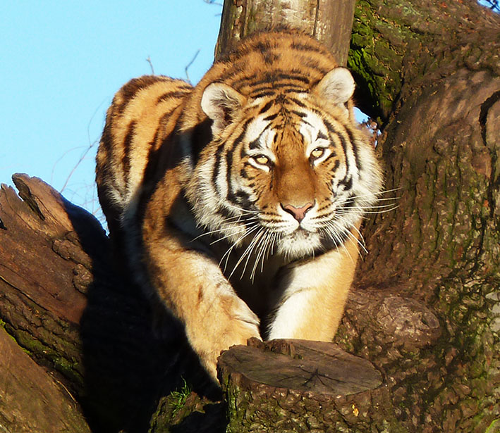 tiger in a tree