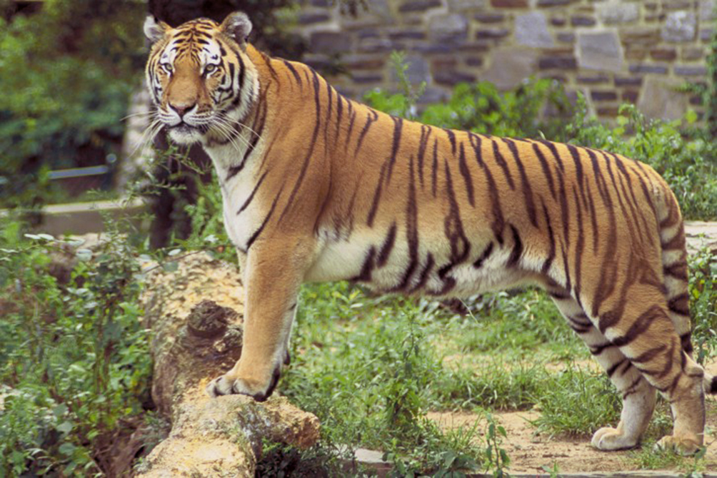 tiger panthera tigris