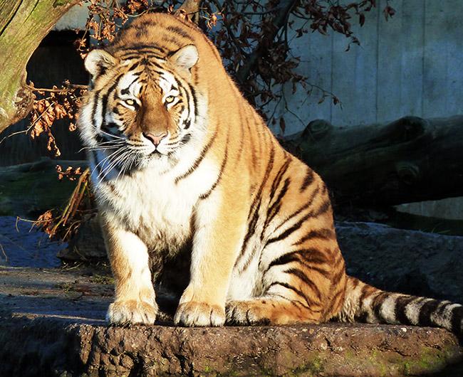 Alert tiger clip art