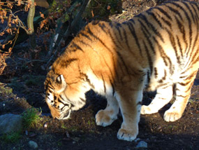 tiger pictures tiger sniffing