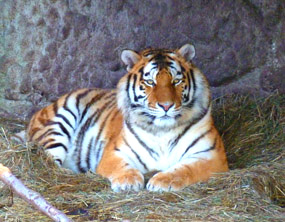 Amur tiger picture
