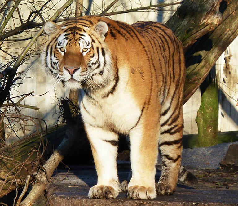 panthera tigris clipart