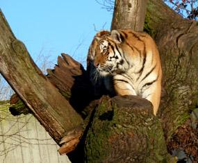 tiger photos tiger in tree