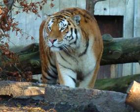 tiger photos amur tiger walking