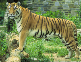 tiger panthera tigris