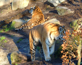 tiger photos two amur tigers in zoo