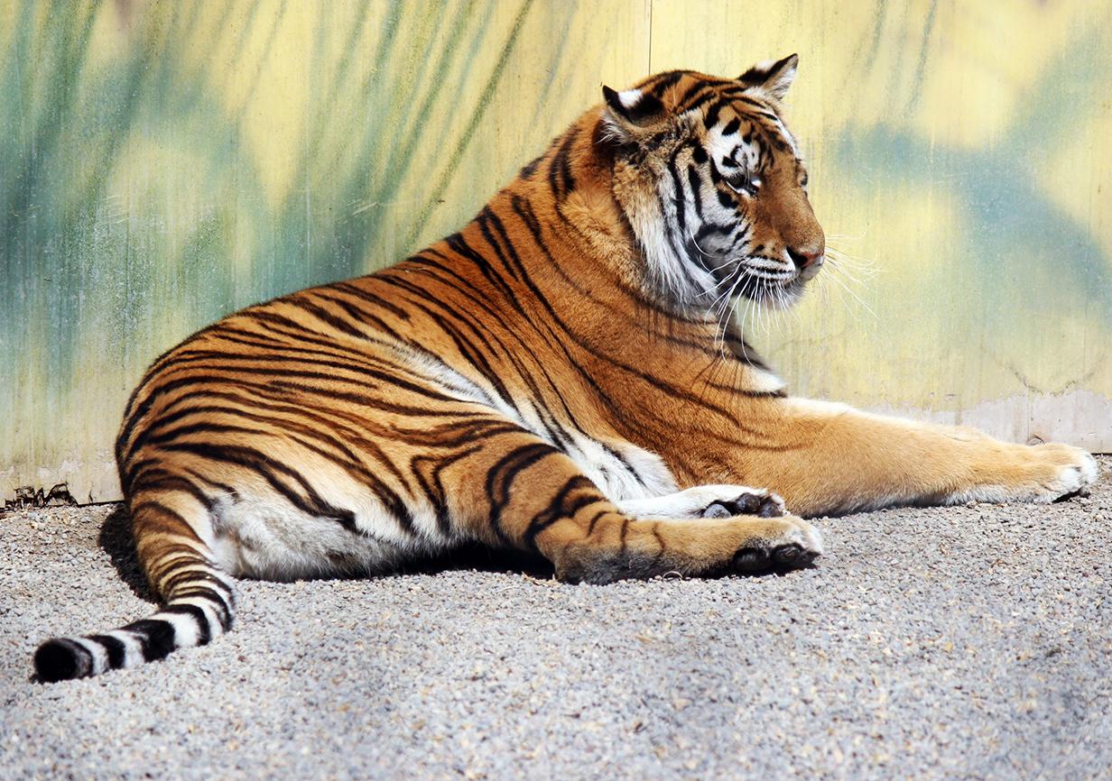 photo tigre resting