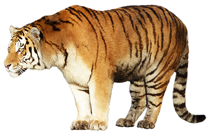 animal graphics tiger standing