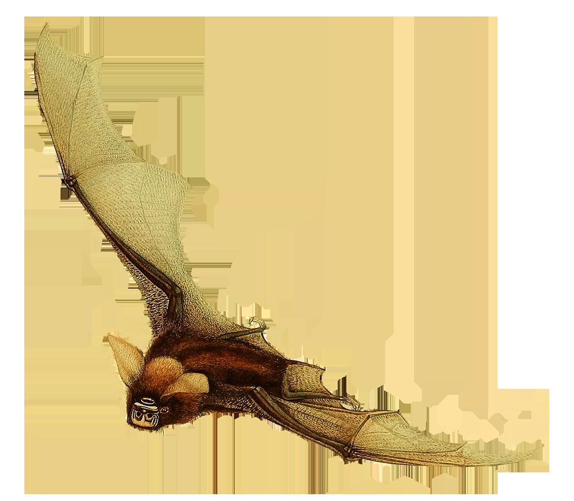 timor bat clipart