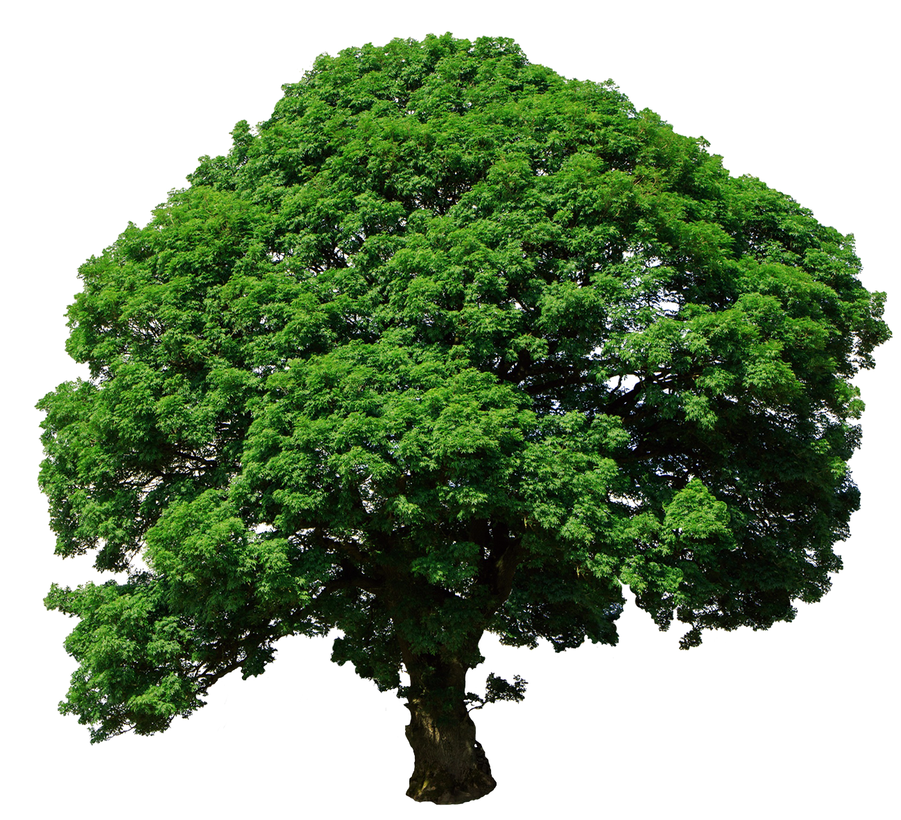 tree isolated png