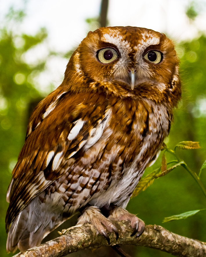 brown owl picture