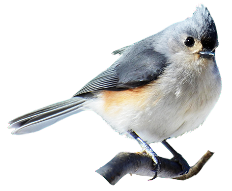 Tufted Titmouse clipart