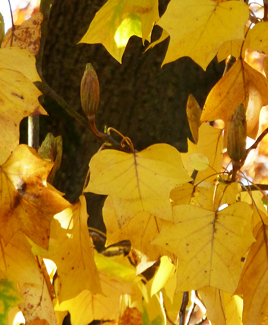tulip tree in the fall with yellow leaves