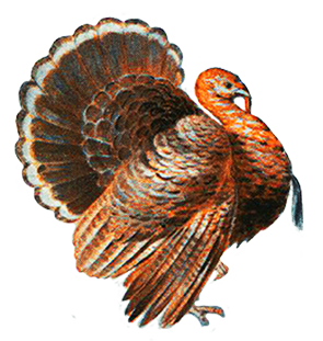 beautiful turkey drawing