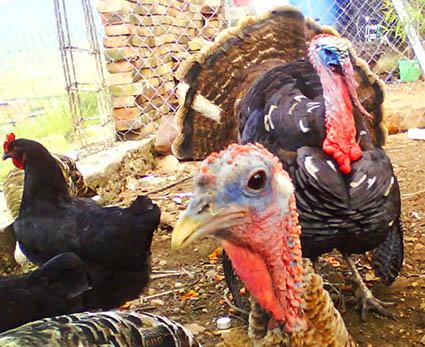 turkeys in the farmyard