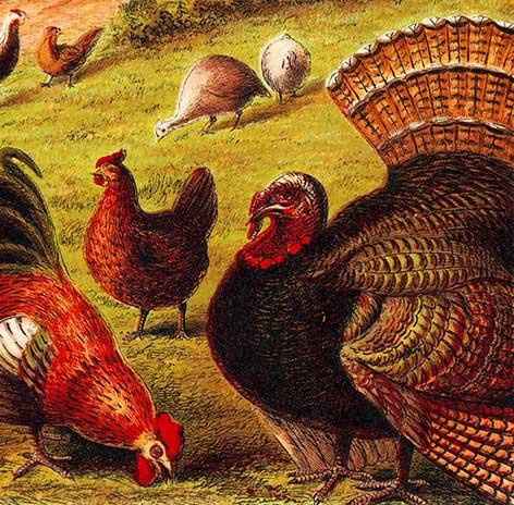 Painting of turkey bird and hen