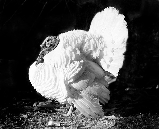 turkey pictures photo in black and white
