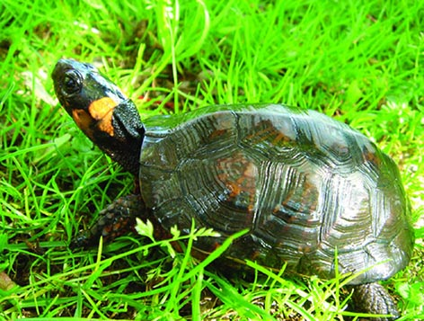 Bog turtle in grass