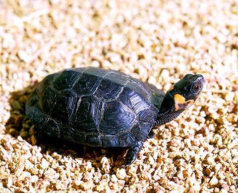 turtle pictures bog turtle sunning