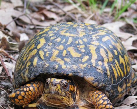 Box turtle tortoise