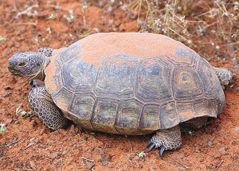 Desert tortoise in desert