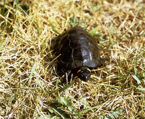 Picture of bog turtle