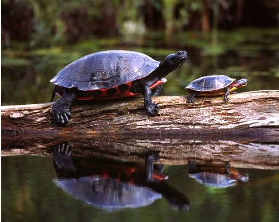 turtle-picture red bellied Cooter and painted turtle
