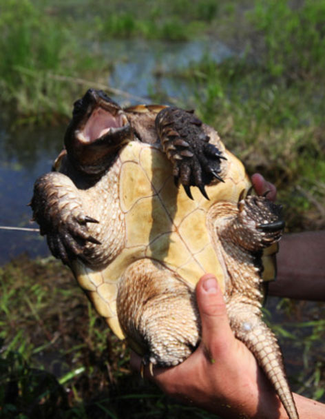 Belly of snapping turtle