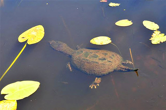 Snapping turtle in water