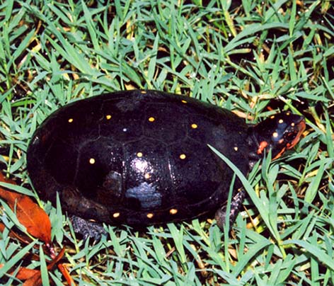 Turtle pictures Spotted turtle in grass