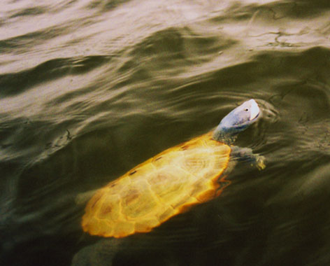 terrapin swimming in river picture