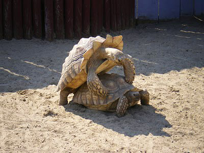 Turtle pictures tortoises mating
