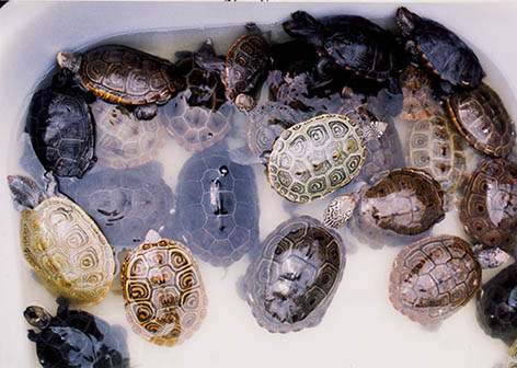 turtle pictures tub of terrapins