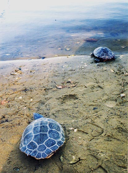 Two terrapins going into the water