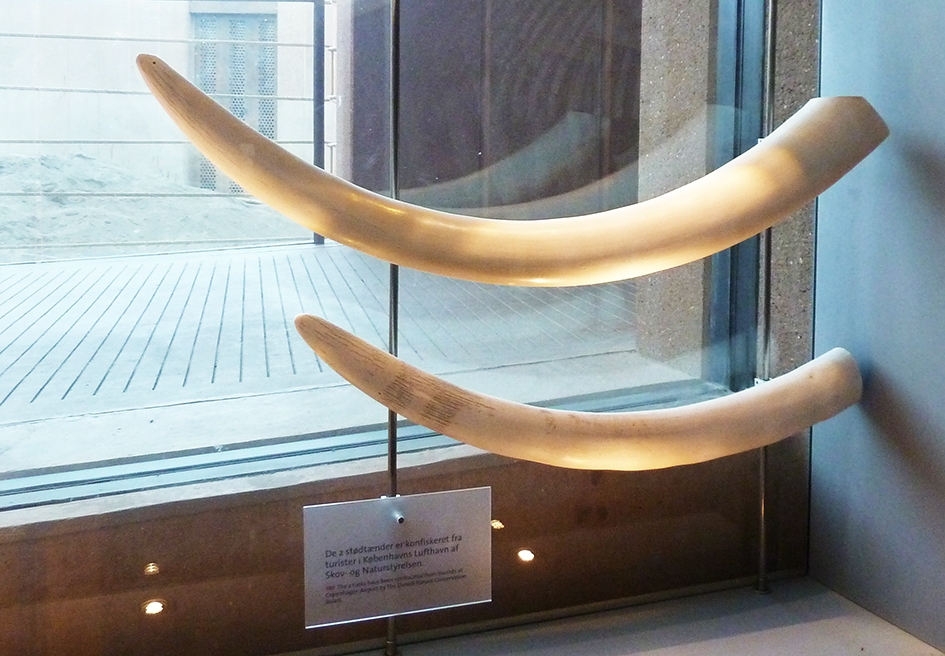 Elephant tusks confiscated in Copenhagen Airport